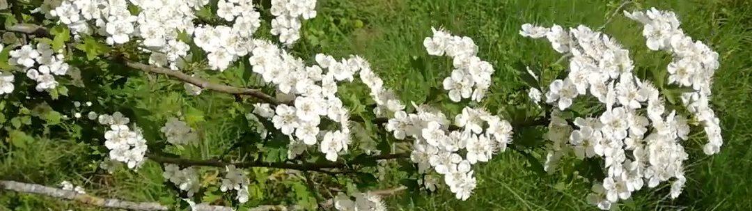 El espino blanco